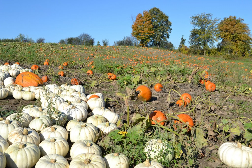 Pumpkin Patch, Albion Orchards Caledon