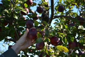 Picking Apples by hand at Albion Orchards