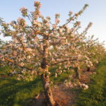 Apple Trees in Bloom at Albion Orchards